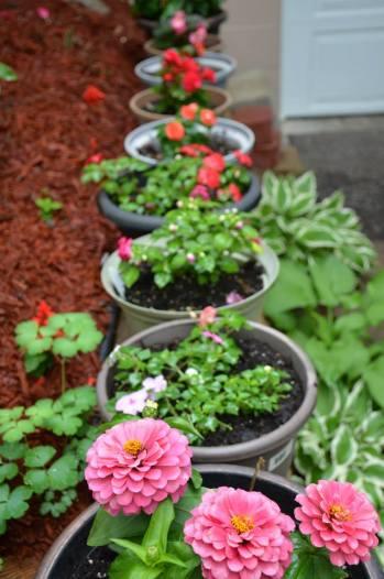 My Garden- Zinnas